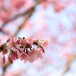 隅田川にて桜を撮影【2019年3月26日】